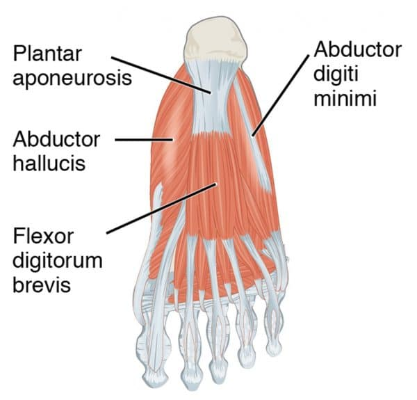 Muscles of the foot, First layer of the plantar group