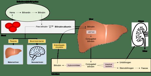 Bilirubin metabolism in the neonate.