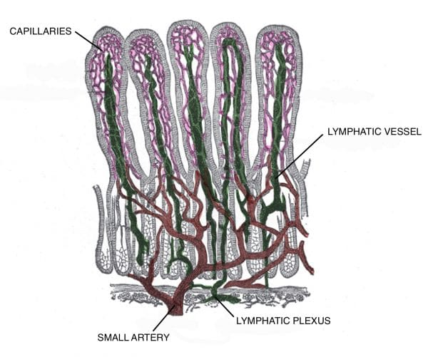 Villi of the small intestine, showing blood vessels and lymphatic vessels.