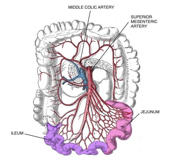 Superior mesenteric artery supplying the jejunum and ileum.