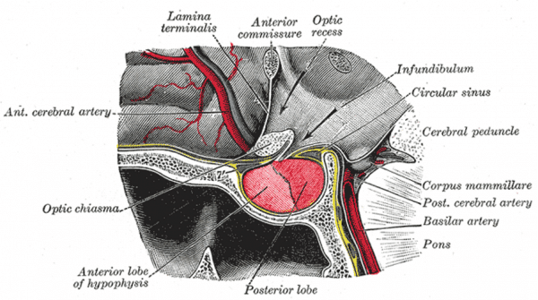 The pituitary gland within the pituitary fossa