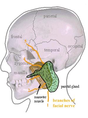 The parotid gland