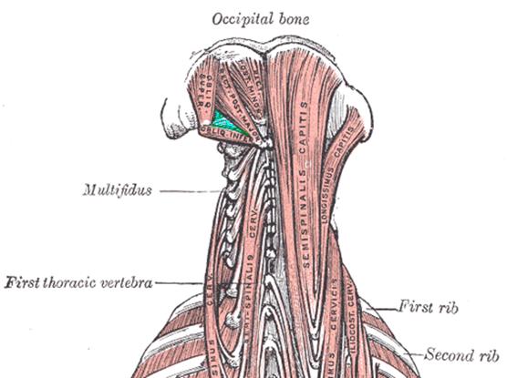 The suboccipital triangle