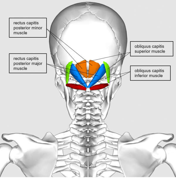 Subocciptal muscles