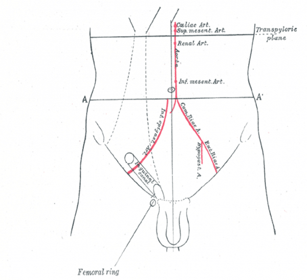 The Inguinal Canal