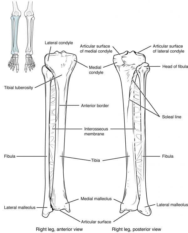 Bony structure of the tibia and fibula